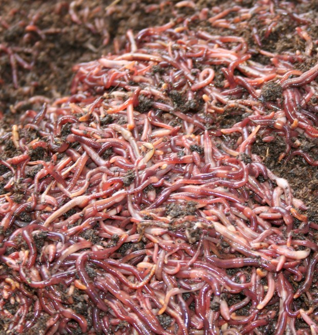 5_lb_worms
