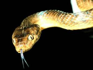 Brown_tree_snake_0